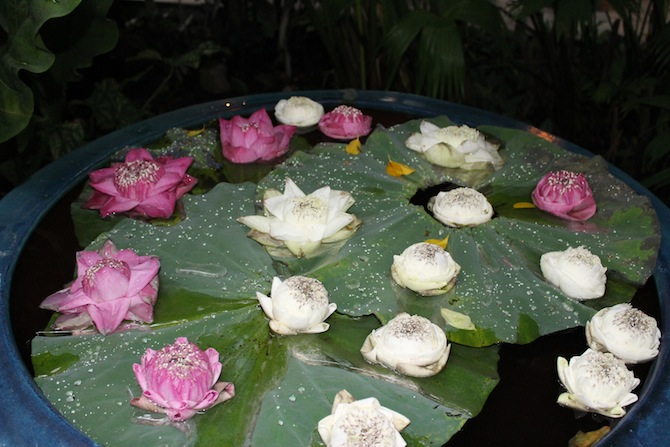 Jim Thompson - lotus bloom with lotus leaves